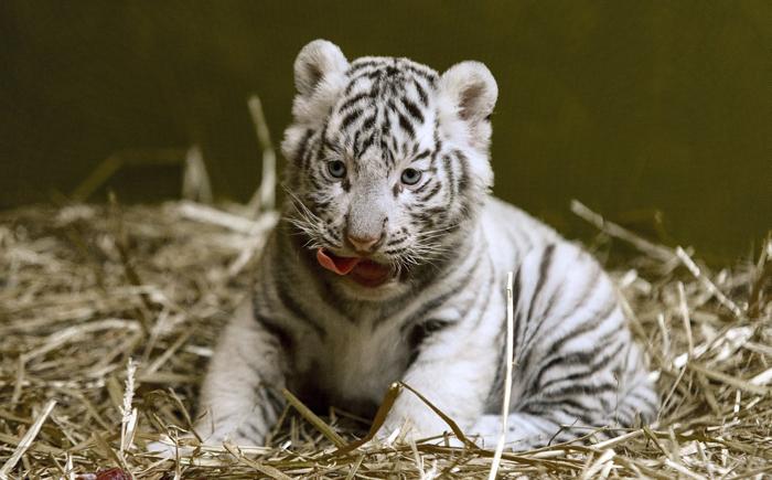 iker tigrisek fogyás)