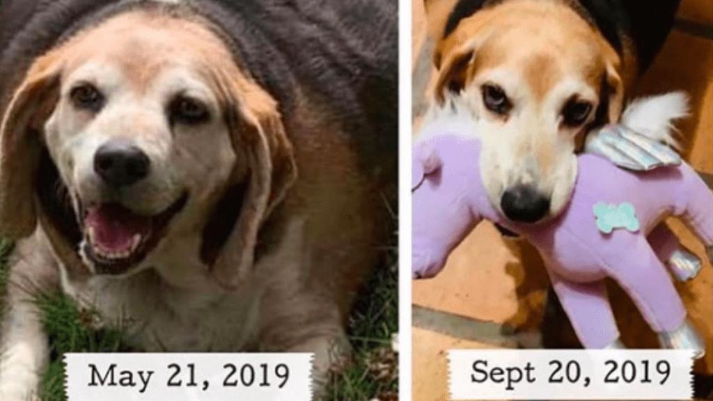hogyan lehet a beagle lefogyni?