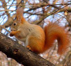 fogyás mókus