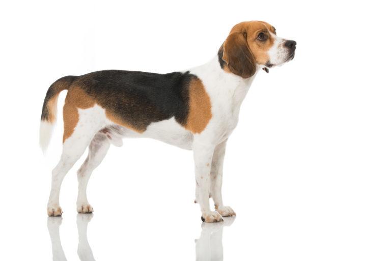 beagle veszteség súlya