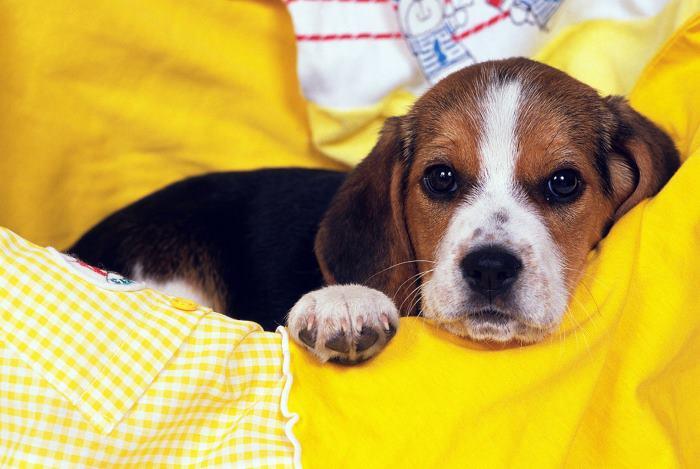 segít a beagle fogyni)