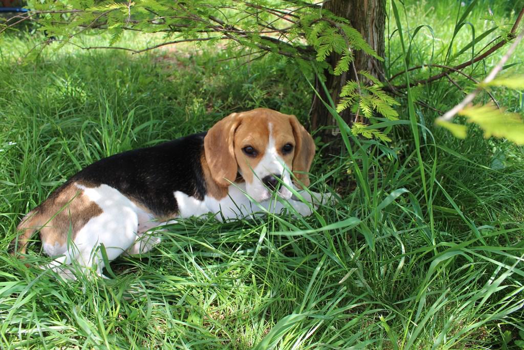 Beagle – Wikipédia