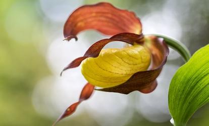 fekete orchidea zsírégető