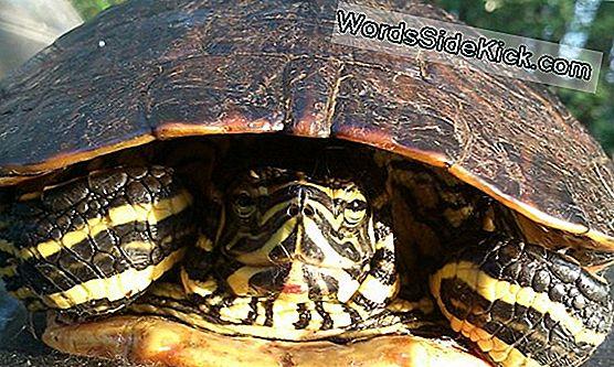 hogyan veszítette el a teknős a súlyát?)
