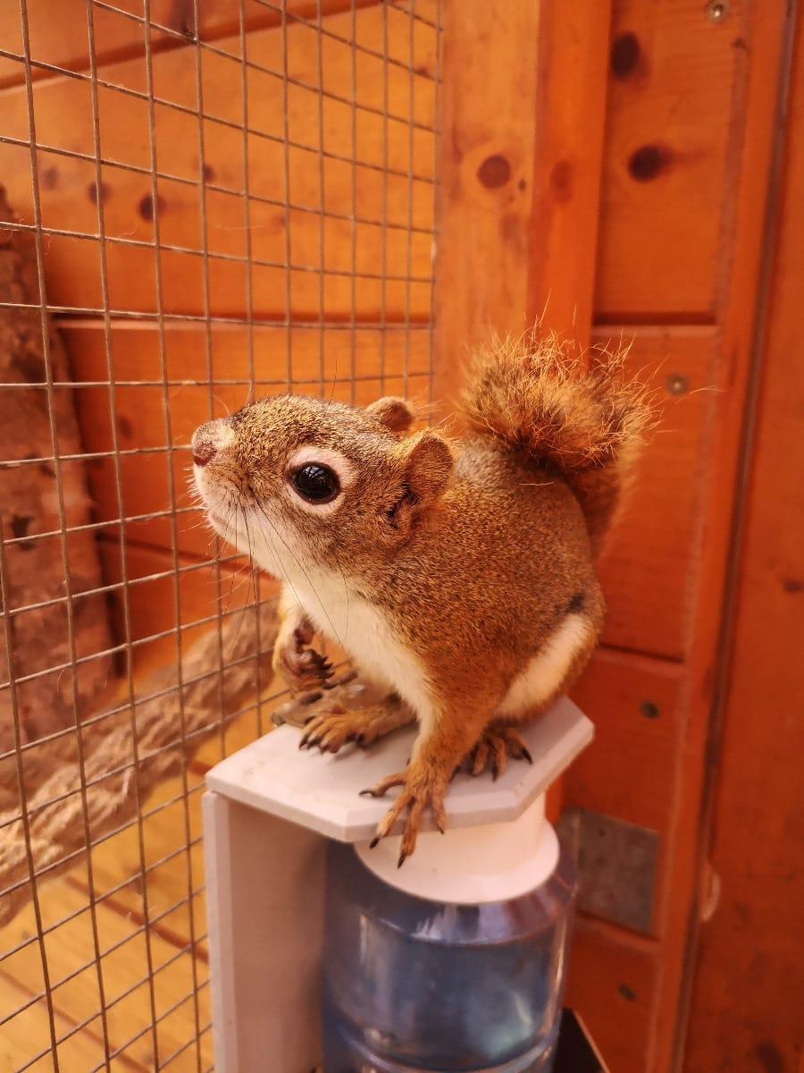 fogyás mókus)