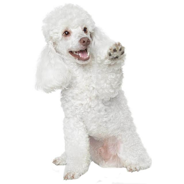 """""""Parvó"""" – a kutyák parvovirusos bélgyulladása"""