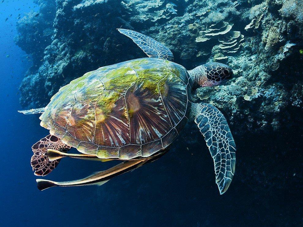 BambinoMio Úszópelenka 7-9kg - Teknős #kék