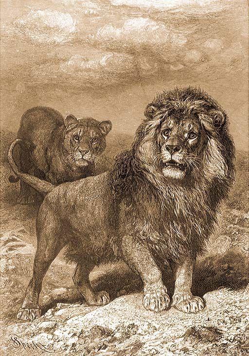 oroszlánok sörény veszteség