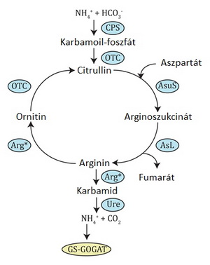 karbamid nitrogén és fogyás